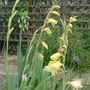 Gladiolus_dalenii_yellow_form_2014