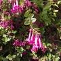 Abelia floribunda flowers