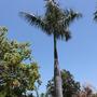 Lone Royal Palm (Roystonea regia) (Royal Palm (Roystonea regia))