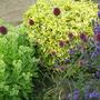 Alliums...