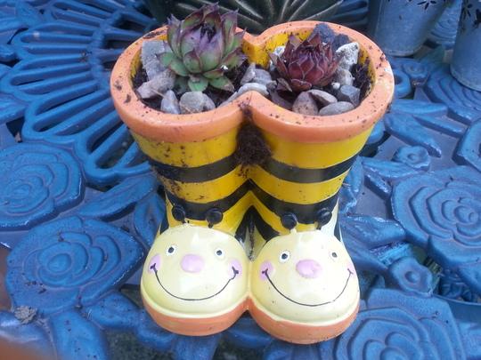 Sempervivum Boots