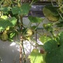 Lemon Apple Cucumber