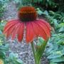 Echinacea 'Julia' PPAF (Echinacea 'Julia' PPAF)