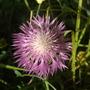 Centaurea_dealbata