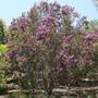 Lagerstroemia indica - Purple Crape Myrtle (Lagerstroemia indica)