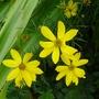 Coreopsis_grandiflora_2014