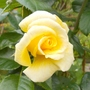 Climbing rose Gold Charm