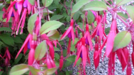 Hardy Fuchsia ' Riccartoni '  (Fuchsia)