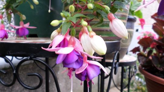 Fuchsia La Campanella (Fuchsia)