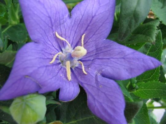 Balloon Flower (Platycodon grandiflorus)