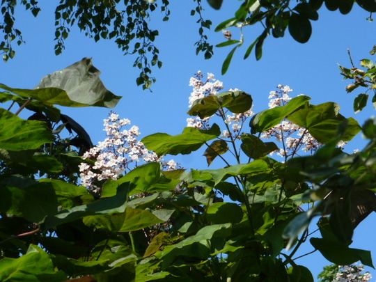 Catalpa  ...  Indian bean tree ..