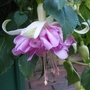 Fuchsia 'Wendys Beauty'