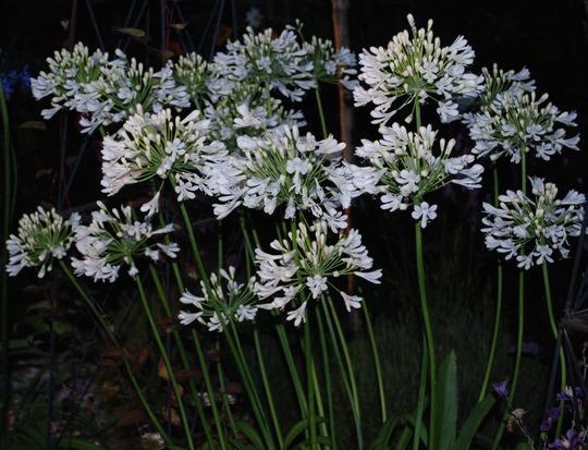 White Agapanthus taken tonight.... (Agapanthus campanulatus (African blue lily) White)