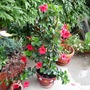 Containers on the terrace (Dipladenia)