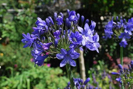 Blue Agapanthus..... (Agapanthus inapertus Midnight Cascade.)
