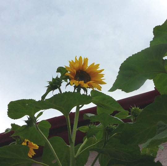 Sunflower silhouetted against the sky. (Helianthus annuus (Sunflower))