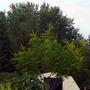 Koelreuteria paniculata (Golden-rain tree)