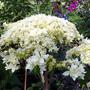 Hydrangea arborescens 'Haye's Starburst' (Hydrangea arborescens (Hydrangea))
