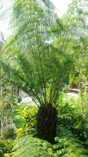 The Daddy...Dicksonia Antartica. (Dicksonia antarctica (Soft tree fern))