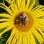 Bumble Bee on Inula hookeri