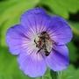 Honey Bee on Geranium 'Roseanne'