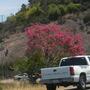 Bombax (Chorisia) speciosa  - Silk Floss Tree in Flower (Bombax (Chorisia) speciosa  - Silk Floss Tree)