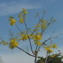 Cassia fistula - Golden Shower Tree Flowering in San Diego, CA. (Cassia fistula - Golden Shower Tree)