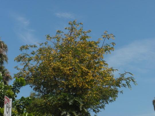 Tamarindus indica -  Flowering Tamarind Tree in San Diego, CA. (Tamarindus indica - Tamarind Tree)