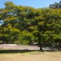 Peltophorum pterocarpum - Yellow Poinciana, Yellow Flame Tree (Peltophorum pterocarpum - Yellow Poinciana, Yellow Flame Tree)