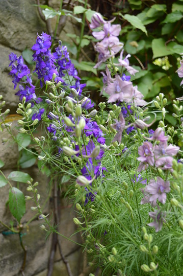 Larkspur, blue and dusty pink (Delphinium consolida)