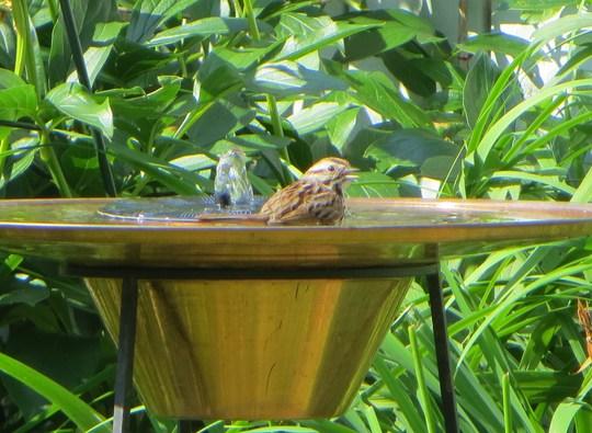 sparrow enjoying a day in my backyard spa