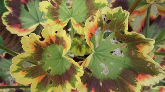 Geranium ' Contrast ' Critter damage Jul 2014