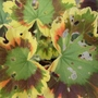Geranium_contrast_critter_damage_jul_2014