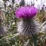 Scots Thistle Jul 2014 Fenwick Moor
