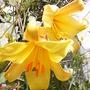 Lillies2