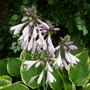 Hosta in flower (Hosta fortunei (Plantain lily))