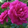 Rose_gloriana_.1