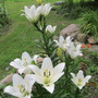 White Asiatic Lilies...