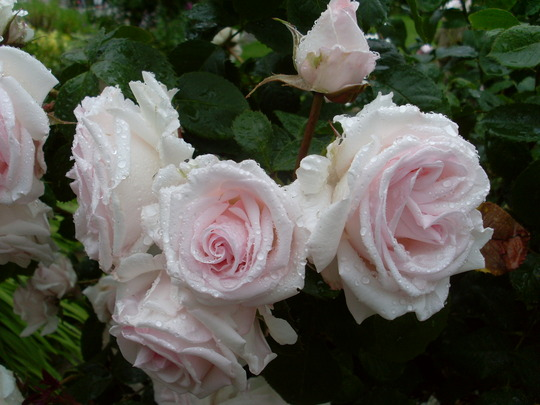 Rosa Belamonte
