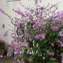 Mallow shrub