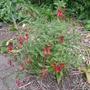 Fuchsia pumila - 2014 (Fuchsia pumila)