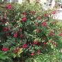 Front Garden Fuchsia (Fuchsia)