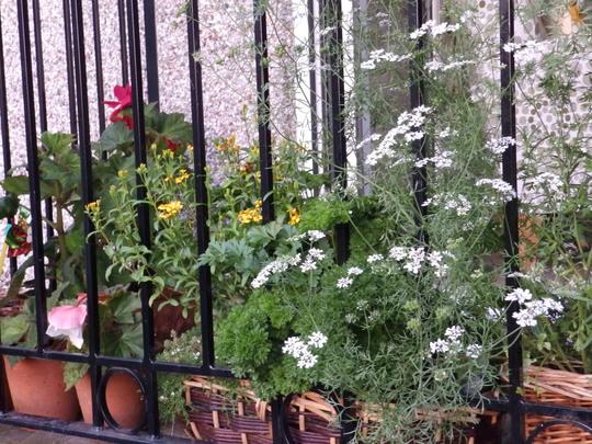 herbs,coriander,thyme,tarragon,parsley