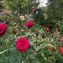 Rosa Deep Secret (rosa H T)