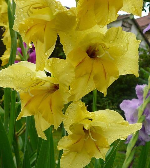 Yellow Gladiolus (Gladiolus grandiflorus)