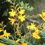 Crocosmia - Canary (I think!)