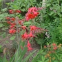Crocosmia_lucifer_2014