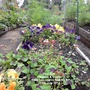 Plot 12A Pansies & Oxalis from balcony in bed No 3 11-07-2014 001 (Viola x wittrockiana)