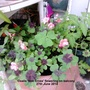 Oxalis_iron_cross_flowering_on_balcony_27_06_2014