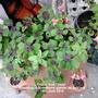 Oxalis 'Iron Cross' flowering in Strawberry planter on balcony 19-06-2014 (Oxalis)